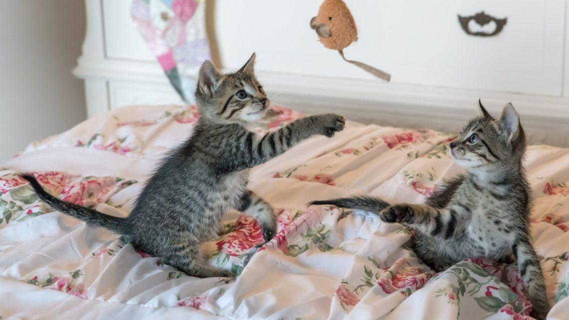 Quels types d'activités pour jouer avec son chat et stimuler son intelligence ?